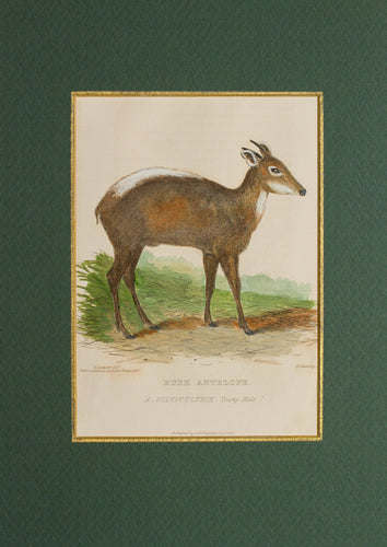 Bush Antelope - Antique Copper Engraving 1816