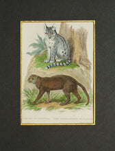 Load image into Gallery viewer, The Cape Cat of Forster The Yagouaroundi of DAzara - Antique Copper Engraving circa 1825