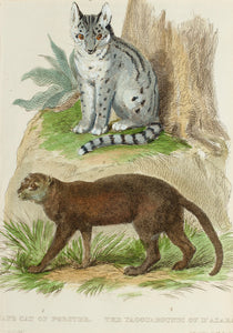 The Cape Cat of Forster The Yagouaroundi of DAzara - Antique Copper Engraving circa 1825