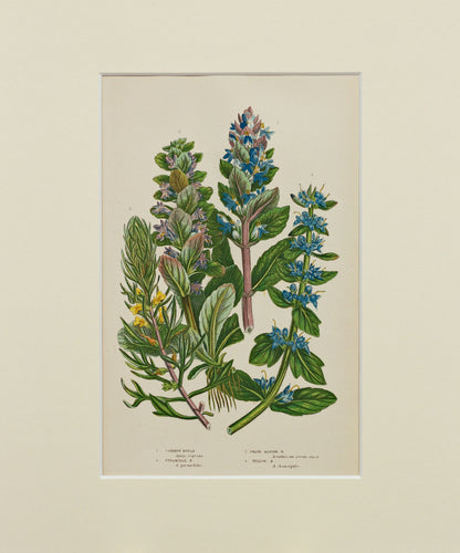 Common Bugle etc - Antique Wild Plant Chromolithograph circa 1890