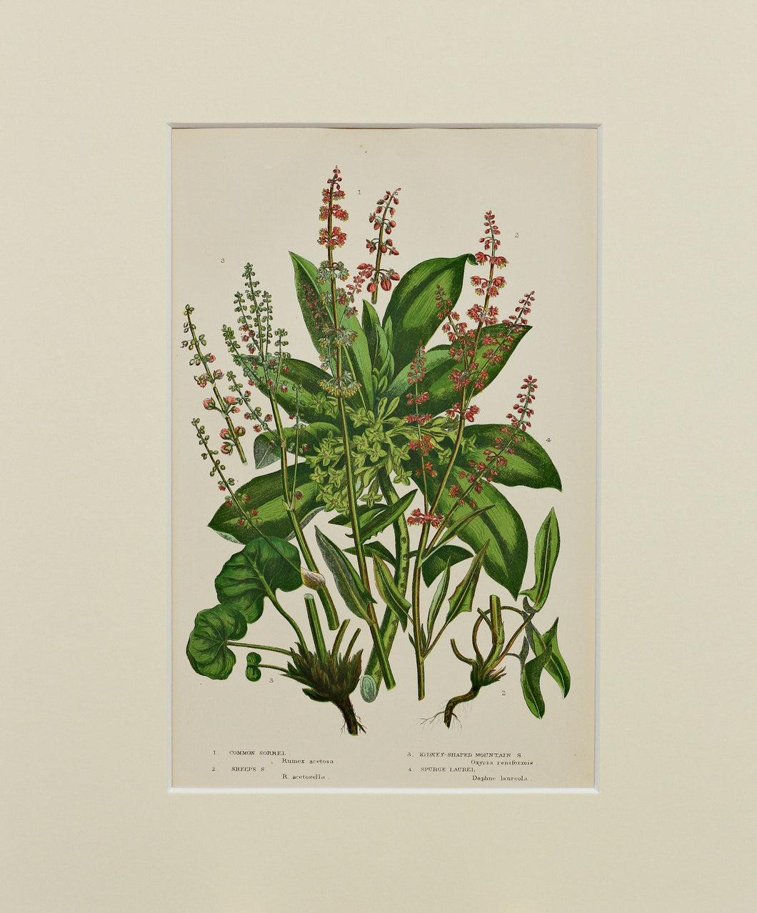 Common Sorrel etc - Antique Wild Plant Chromolithograph circa 1890