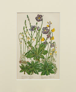 Common Vervain etc - Antique Wild Plant Chromolithograph circa 1890