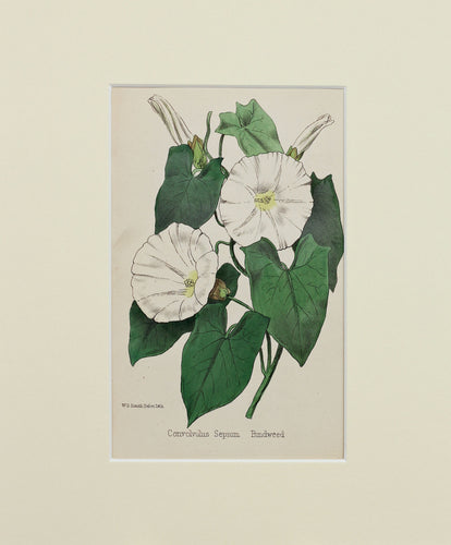 Bindweed - Antique Wild Flower Lithograph circa 1860s