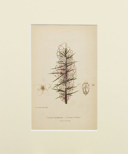 Common Dodder - Antique Wild Flower Lithograph circa 1860s