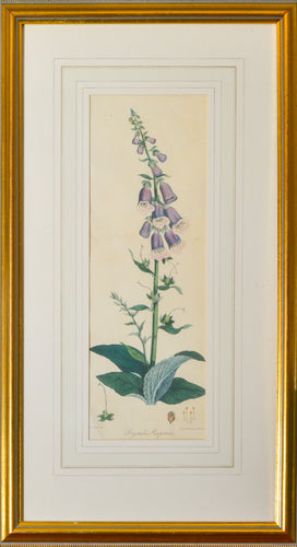 Digitalis Purpurea - Antique Botanical Lithograph circa 1824
