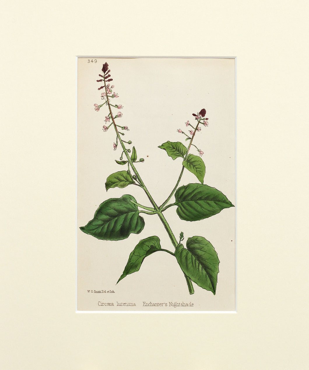 Enchanters Nightshade - Antique Lithograph of Wild Flowers circa 1860s