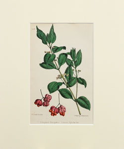 Common Spindle-tree - Antique Wild Flower Lithograph circa 1860s