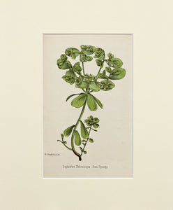 Sun Spurge - Antique Wild Flower Lithograph circa 1860s