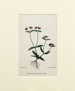 Keeled Corn Salad - Antique Wild Flower Lithograph circa 1860s