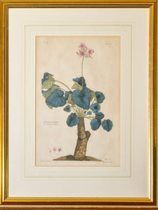 Geranium Umbellicatum - Antique Copper Engraving circa 1770