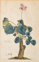 Load image into Gallery viewer, Geranium Umbellicatum - Antique Copper Engraving circa 1770