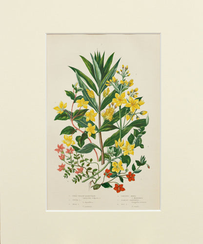Great Yellow Loosestrife Creeping Jenny etc - Antique Wild Plant Chromolithograph circa 1890