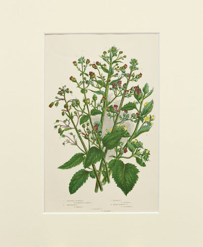 Knotted Figwort etc - Antique Wild Plant Chromolithograph circa 1890