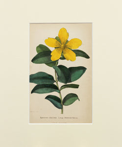 Large Flowered Tutsan - Antique Lithograph of Wild Flowers circa 1860s