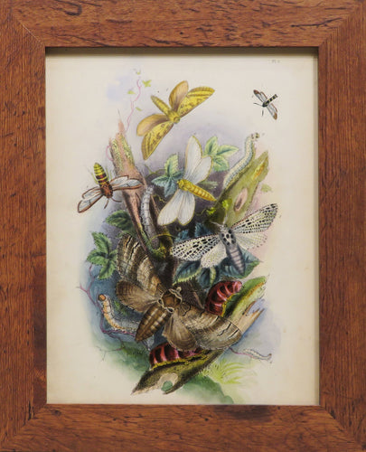 One of a Series of Day and Night Time Lepidoptera - Antique Lithograph, circa 1891