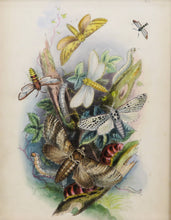 Load image into Gallery viewer, One of a Series of Day and Night Time Lepidoptera - Antique Lithograph, circa 1891