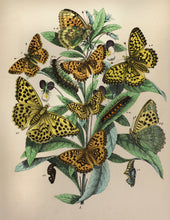 Load image into Gallery viewer, 1 in a Series of Chromolithographs of Lepidoptera circa 1891