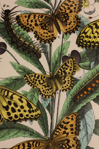 1 in a Series of Chromolithographs of Lepidoptera circa 1891