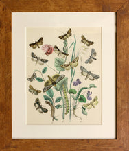Load image into Gallery viewer, 3 in a Series of Chromolithographs of Lepidoptera, circa 1891