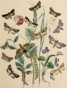 3 in a Series of Chromolithographs of Lepidoptera, circa 1891
