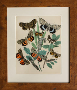 4 in a Series of Chromolithographs of Lepidoptera, circa 1891