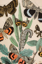 Load image into Gallery viewer, 4 in a Series of Chromolithographs of Lepidoptera, circa 1891