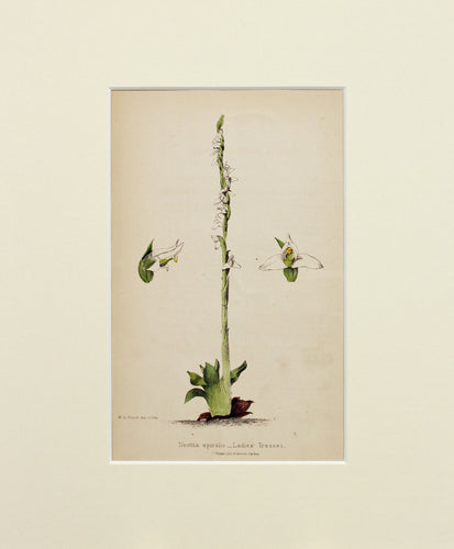 Ladies Tresses - Antique Wild Flower Lithograph circa 1860s