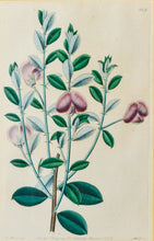 Load image into Gallery viewer, A Pair of Botanical Prints - Antique Copper Engravings 1825/1832