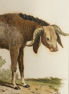 Pegasse of Angola - Antique Copper Engraving circa 1825