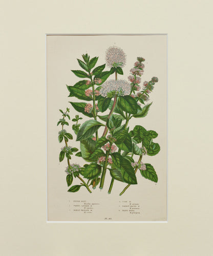 Pepper Mint etc - Antique Wild Plant Chromolithograph circa 1890