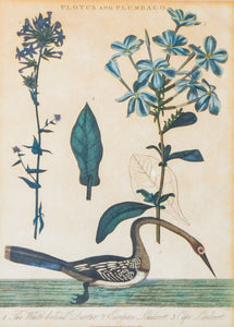 Plotus and Plumbago - Antique Natural History Copper Engraving 1824