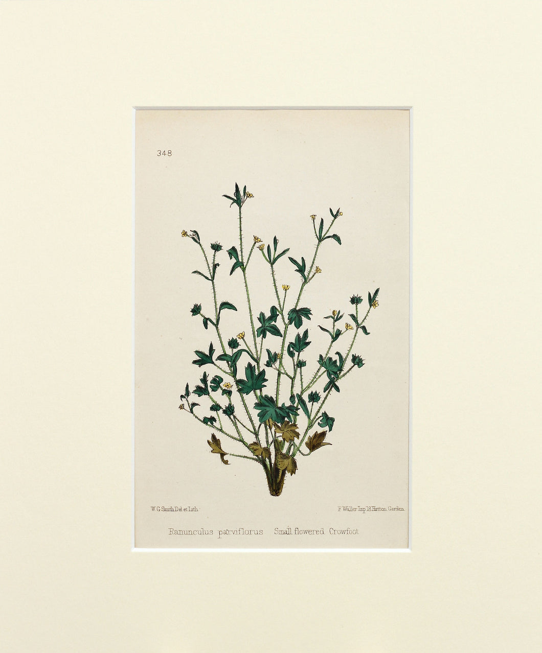 Small Flowered Crowfoot - Antique Wild Flower Lithograph circa 1860s