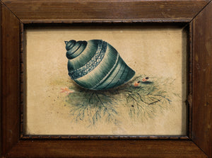 Natural Blue Salt Water Sea Snail Shell Watercolour circa 1820's