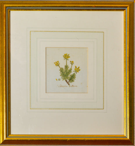 Sibbaldia Attaica - Antique Botanical Watercolour circa 1790