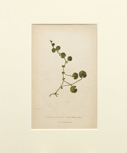 Cornish Money Wort - Antique Wild Flower Lithograph circa 1860s