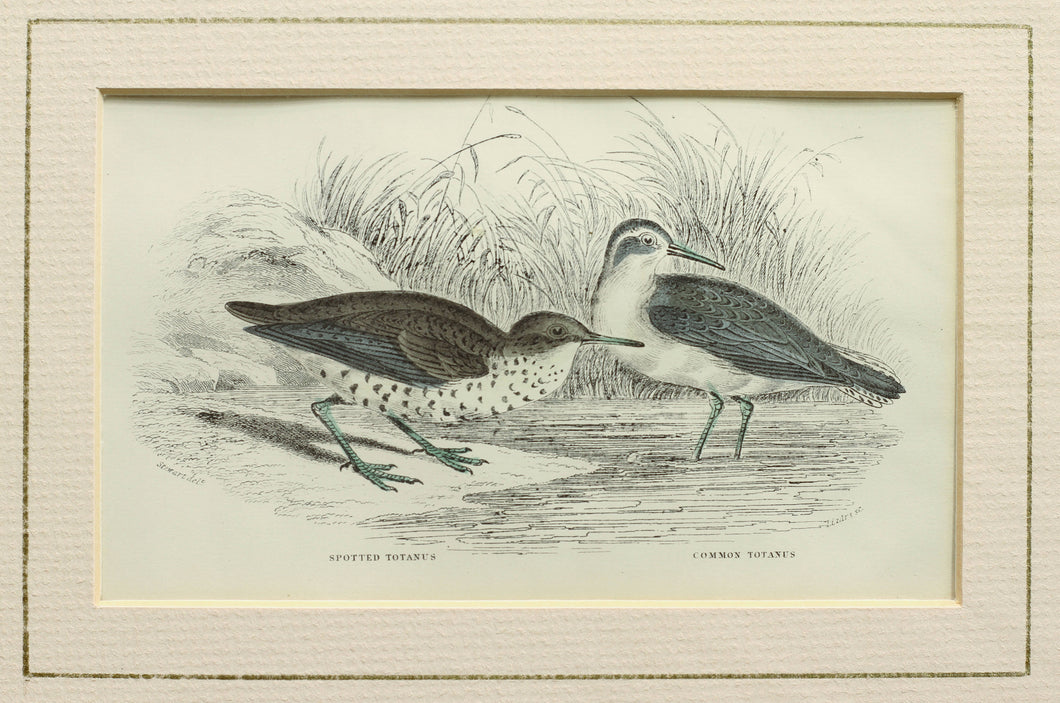 Spotted Totanus and the Common Totanus - Antique Steel Engraving circa 1840