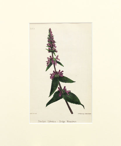 Hedge Woundwort - Antique Wild Flower Lithograph circa 1860s