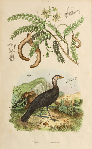 Talegale and Tamarinier - Antique French Steel Engraving circa 1837