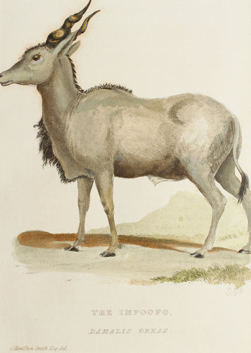 The Impoofo - Antique Copper Engraving circa 1825