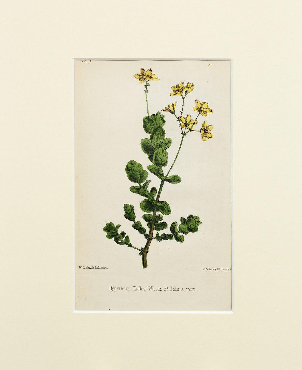 Water St Johns Wort - Antique Lithograph of Wild Flowers circa 1860s