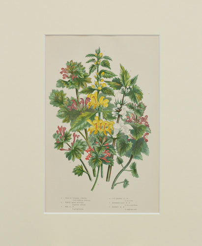 Yellow Weasel Snout White Dead Nettle etc - Antique Wild Plant Chromolithograph circa 1890