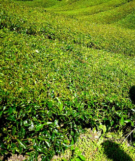 Green tea fields plants