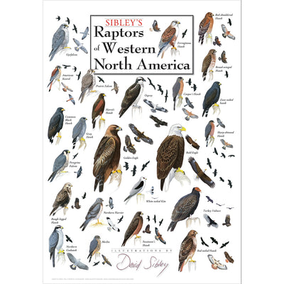 Sibleys Raptors of Western North America Poster
