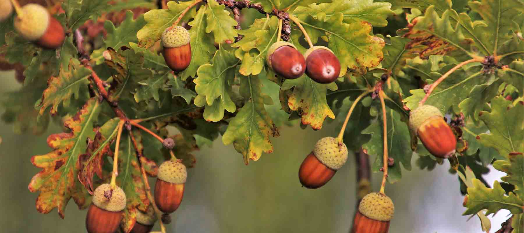 Real Acorn Jewellery and Gifts made using real Acorns