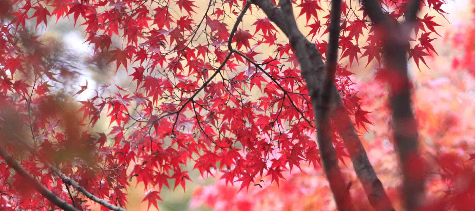 Real Japanese Maple Leaf Jewellery and Gifts made using real Japanese Maple leaves
