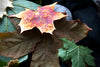 Real Maple Leaf Iridescent Copper Brooch