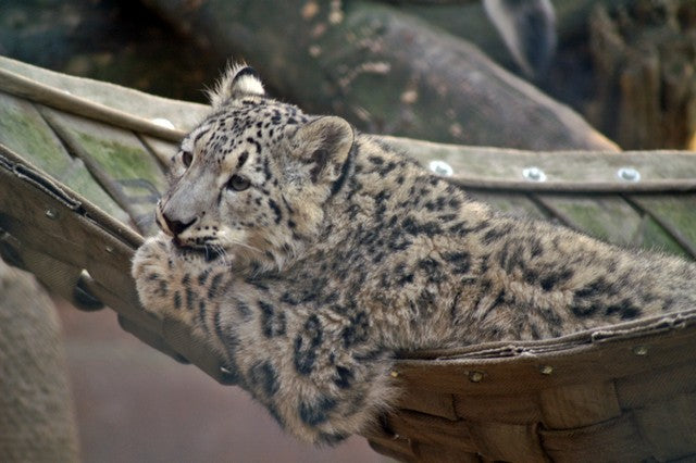 Snow leopard in a hammock