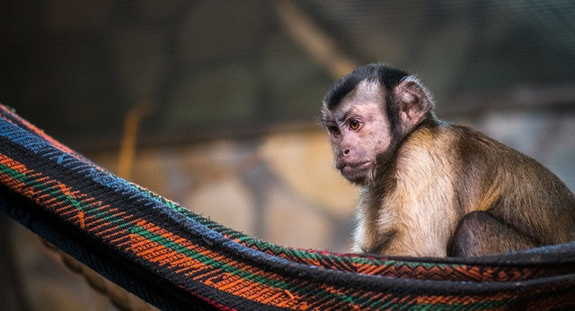 Monkey in a hammock