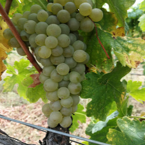 Roussanne grapes on the vine.