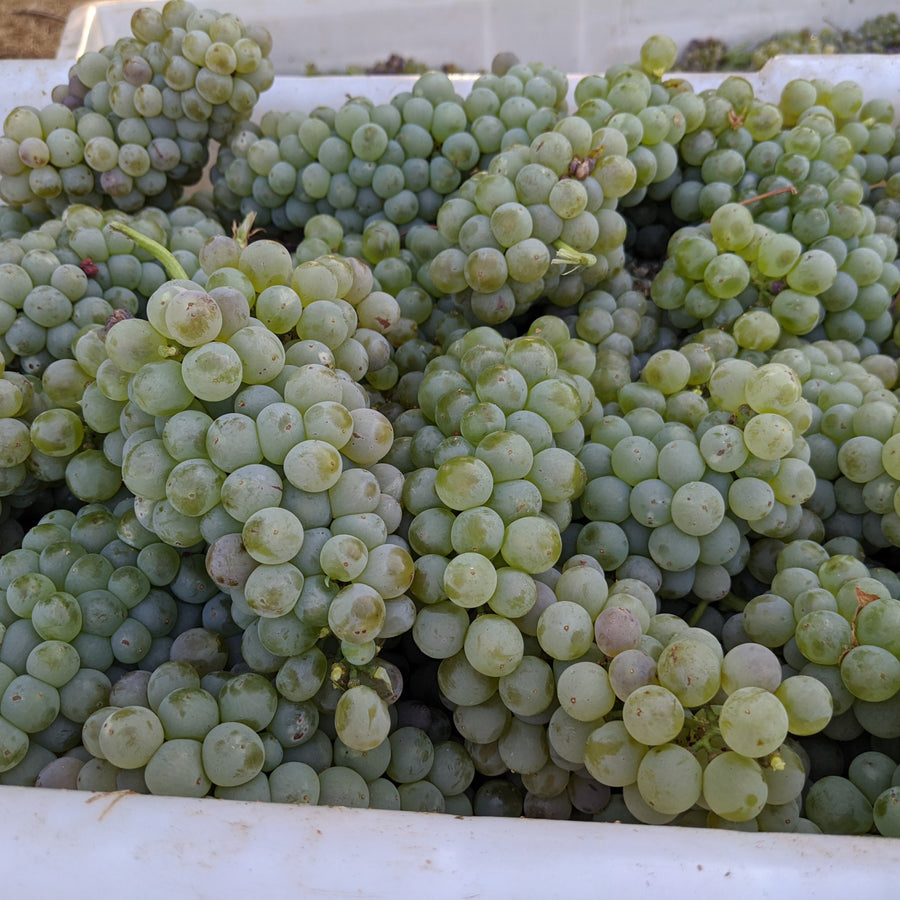 Gorgeous Roussanne grapes at harvest.